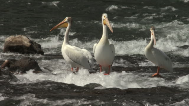 White pelicans (Pelecanus erythrorhynchus) stand in shallow river, Yellowstone, USA