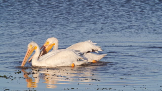 white pelicans swimming while hunting in sea, pelecanus on rippled water - moss landing, california - pelikan bildbanksvideor och videomaterial från bakom kulisserna