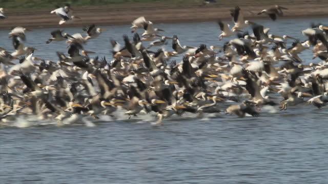 White pelicans (Pelecanus onocrotalus) taking off from water pool. Wintering in Israel.