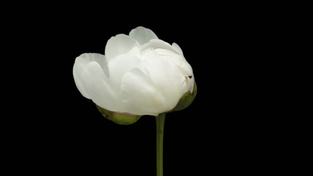 White Peony Blooming Time Lapse