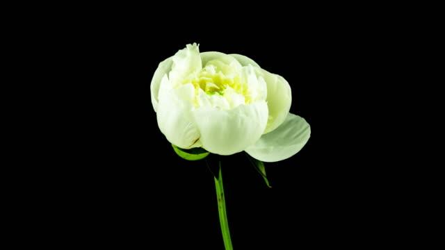 White Peony Blooming (4k UHD)