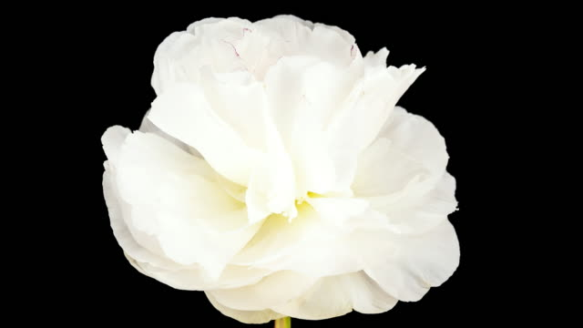 white peony; time lapse - flower head stock videos & royalty-free footage