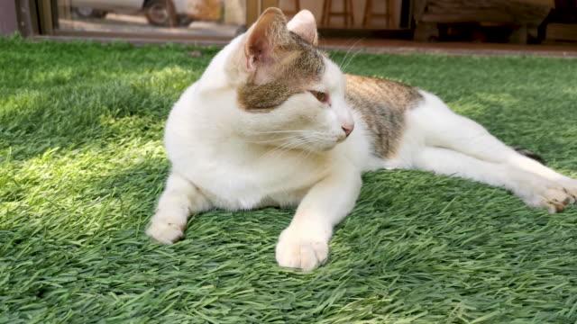 White persian cat.