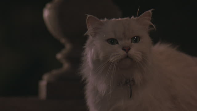 A white, Persian cat with green eyes looks around and hisses.