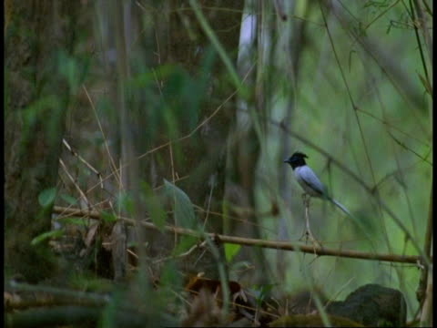 ms white phase asian paradise flycatcher, terpsiphone paradisi, sitting on branch, flies off, bandhavgarh national park, india - national icon stock videos & royalty-free footage