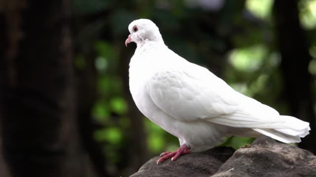 Weiße Taube Nahaufnahme