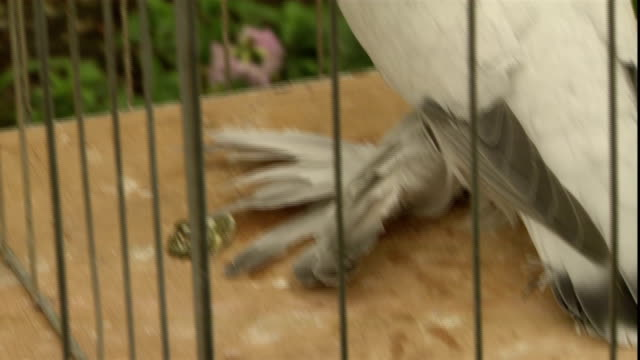 a white pigeon in a cage is seen with heavily feathered legs. - oxfordshire stock videos & royalty-free footage