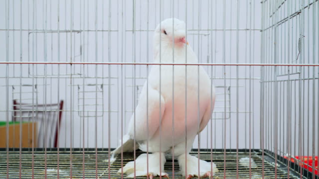 white pigeon in the cage - gabbietta per animali video stock e b–roll