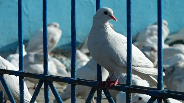 white pigeons standing on a fence - fence stock videos & royalty-free footage
