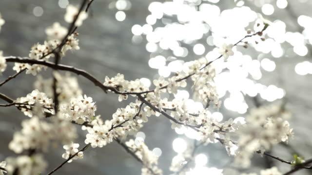 vídeos de stock, filmes e b-roll de branco flor de ameixa - contraluz