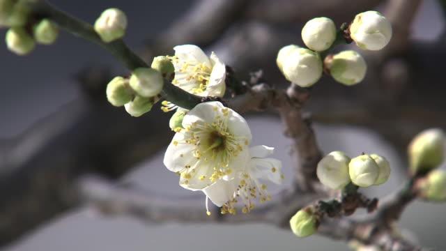 white plum blossoms - kanto region stock videos & royalty-free footage