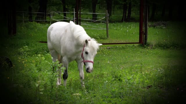 white pony nibbling grass - 動物の色点の映像素材/bロール
