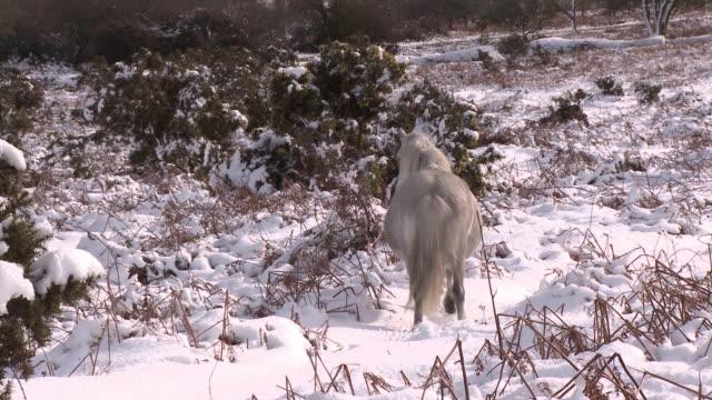 white pony walking through snow - herbivorous stock videos & royalty-free footage