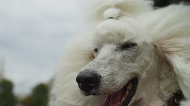 slomo ecu white poodle dog leans out of window of citroen ds 11 driving in paris with traffic in background - rassehund stock-videos und b-roll-filmmaterial