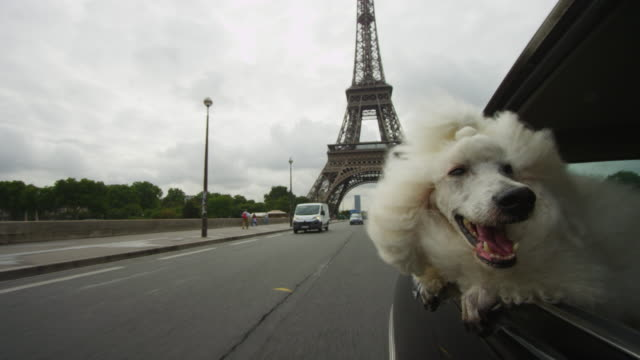 White Poodle dog leans out of window of Citroen DS 11 driving past Eiffel Tower