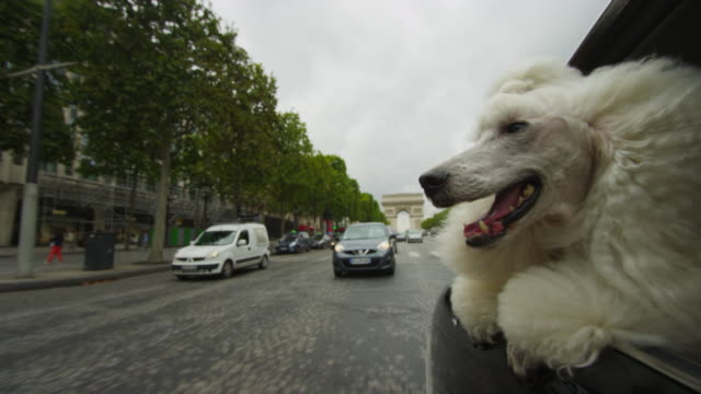 White Poodle dog leans out of window of Citroen DS 11 driving with Arc de Triomphe in distant background