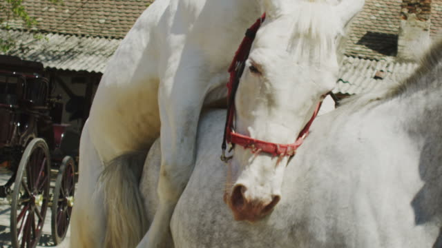white pride - horse stock videos & royalty-free footage