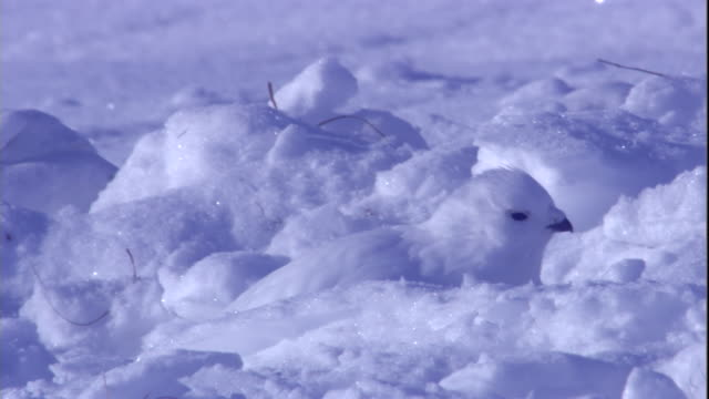 a white ptarmigan blends in with the snow on a tundra in the canadian arctic. available in hd. - arctic stock videos and b-roll footage