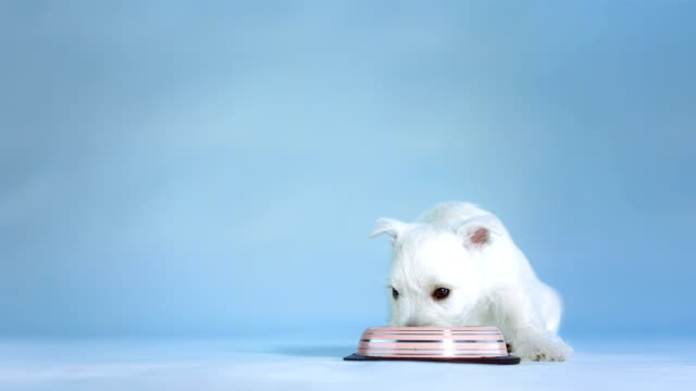 hd: white puppy drinking water - blue dog stock videos & royalty-free footage