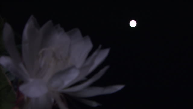Night blooming cereus videos and b roll footage getty images white queen of the night flowers bloom at night mightylinksfo