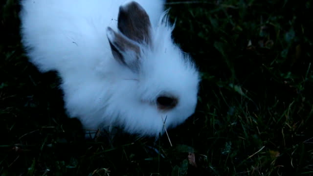 white rabbit close-up - fluffy stock videos & royalty-free footage