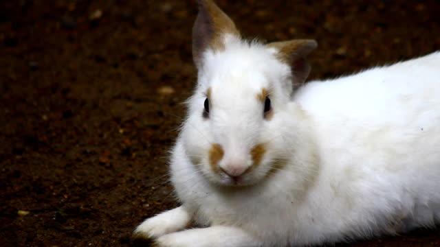 white rabbit - lobe stock videos & royalty-free footage