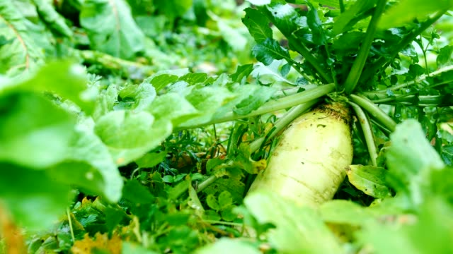 White radish in the field
