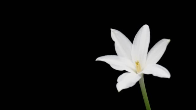 white rain lily flower,time lapse. - lily stock videos & royalty-free footage