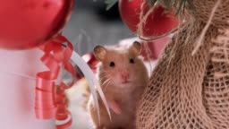 White rat crawls in the New Year decorations, Christmas trees toys, balls. Symbol of the new 2020 and 2032.