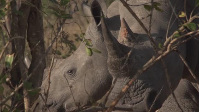 White Rhino and baby (close-up)