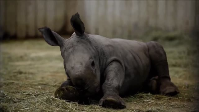 A white rhino and three white Bengal tigers are born at the Amneville Zoo