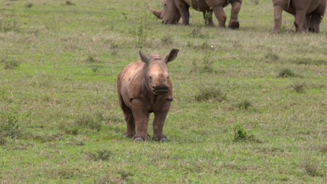 White rhino baby on green plain, smelling and watchting