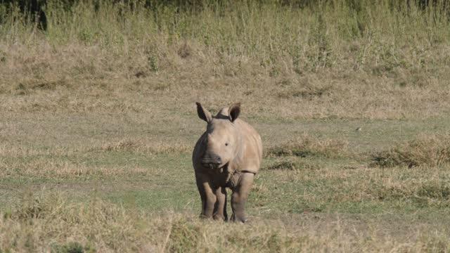 white rhino calf grazing - herbivorous stock videos & royalty-free footage