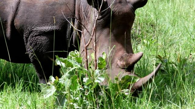 white rhino grazing - safari animals stock videos & royalty-free footage
