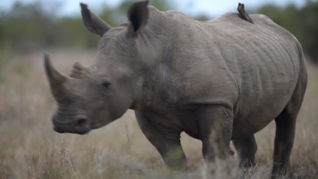 vidéos et rushes de white rhino in the wilderness - république d'afrique du sud
