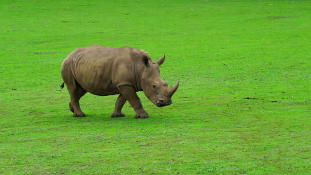 A White Rhino into Cabárceno Natural Park, Pisueña Valley, Municipality of Penagos, Cantabria, Spain, Europe