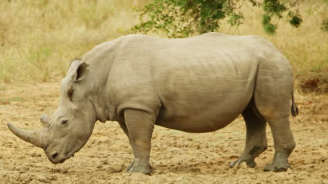 white rhino with an oxpecker bird on its head - symbiotic relationship stock videos & royalty-free footage