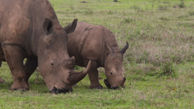 white rhino with baby grazing on green plain - 自然保護区点の映像素材/bロール