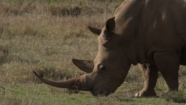 white rhino with long horn grazing on a plain - herbivorous stock videos & royalty-free footage