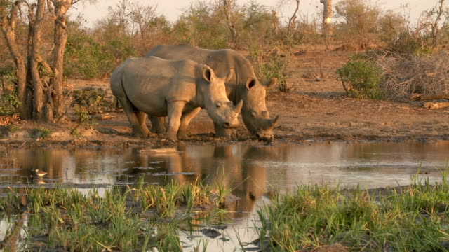 vidéos et rushes de white rhinoceros and sub adult calf standing next to each other and drinking at waterhole, south africa - république d'afrique du sud