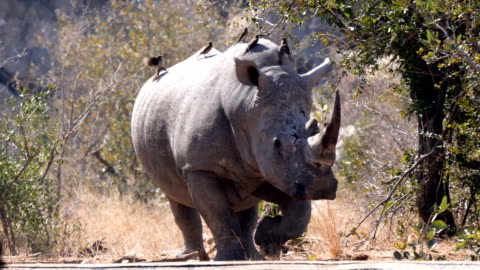 white rhinoceros at water hole, kruger national park - 4k resolution stock videos & royalty-free footage