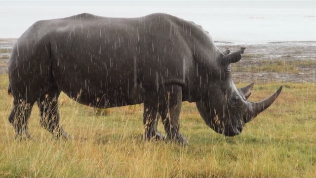 MS White rhinoceros eating grass in rain at lake nakur national park AUDIO / Nakuru, Rift Valley, Kenya