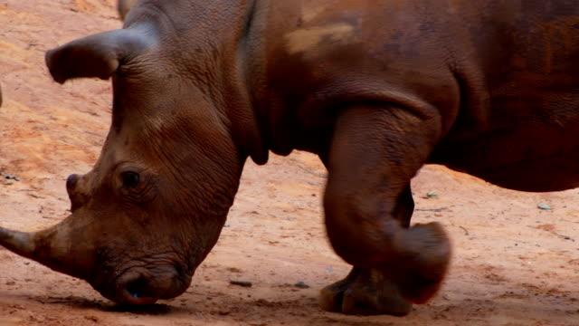 white rhinoceros fighting 4k - rhinoceros stock videos & royalty-free footage