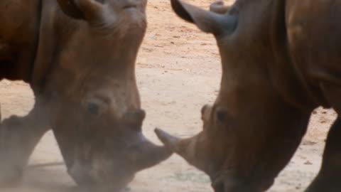 trubbnoshörning kämpar - animals in the wild bildbanksvideor och videomaterial från bakom kulisserna