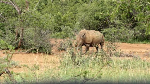 MS White Rhinoceros grazing amongst bushes/ South Africa