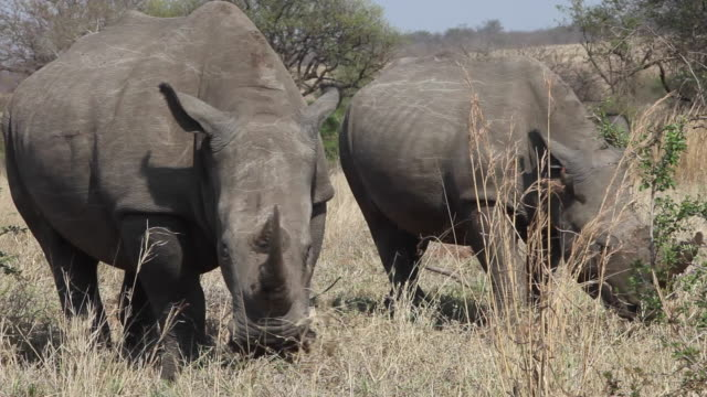 WS White rhinoceros grazing together, South Africa.