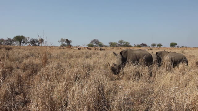 ws white rhinoceros grazing together, south africa. - rhinoceros stock videos and b-roll footage