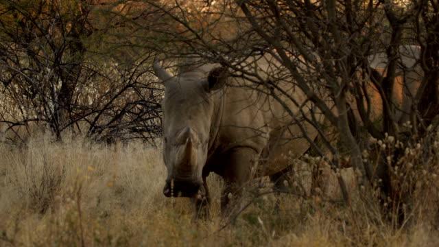 White Rhinoceros (Ceratotherium simum) in Erindi Game Reserve, Namibia