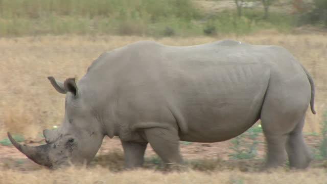 ms, pan, white rhinoceros (ceratotherium simum), kruger national park, south africa - rhinoceros stock videos & royalty-free footage