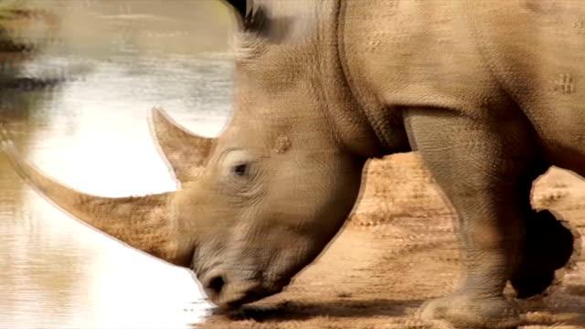 TS CU White Rhinoceros walking across shallow muddy pool/ South Africa